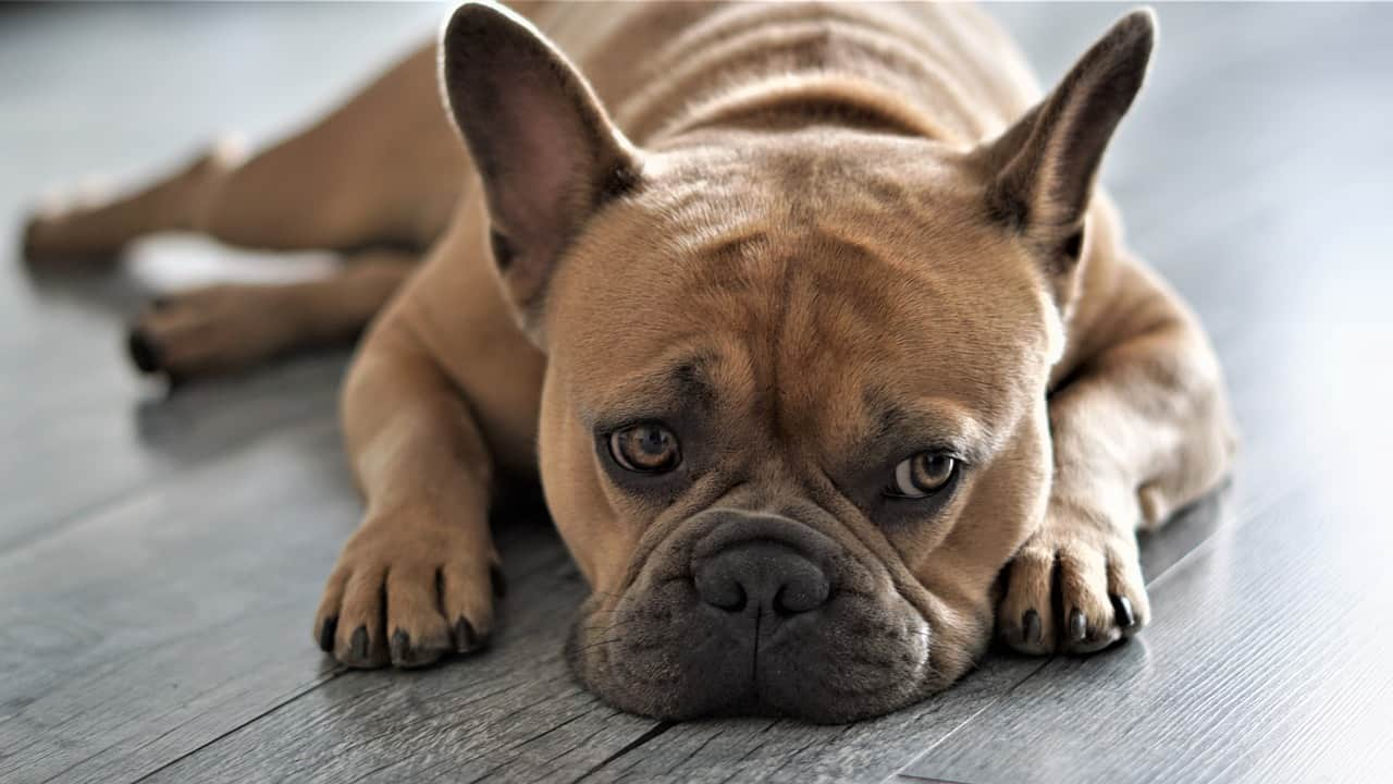 why do dogs lick their paws