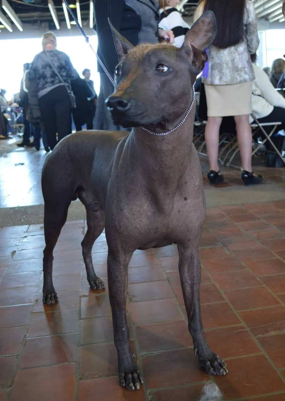 Xoloitzcuintli: top 3 cleanest dog
