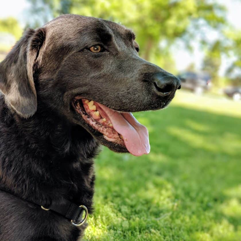 When is Heavy Panting Normal in Dogs?