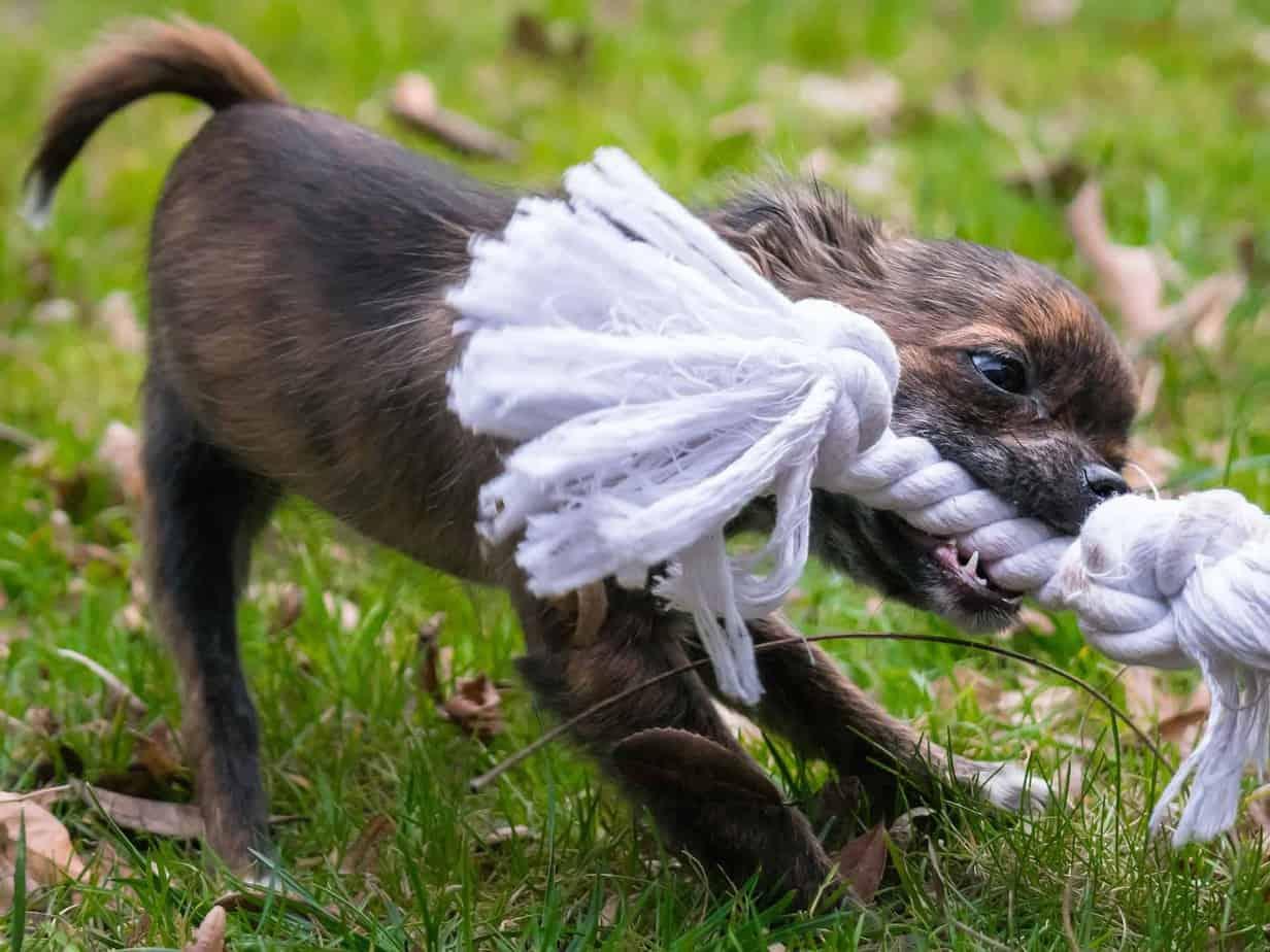 Tug-of-war as dog exercise