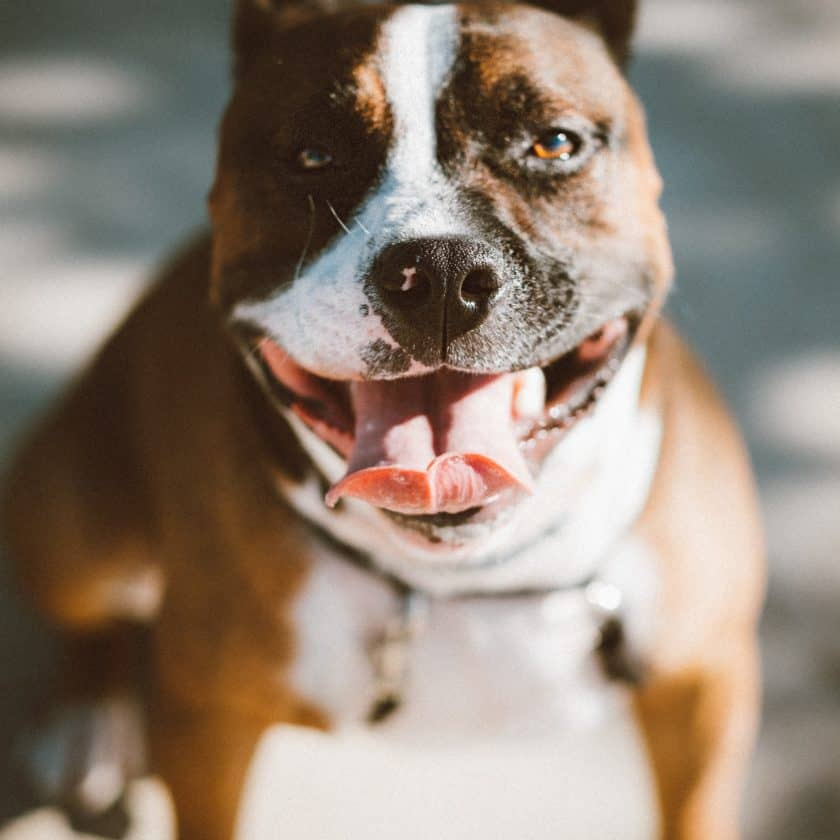 How do I know if my dog is panting too much?
