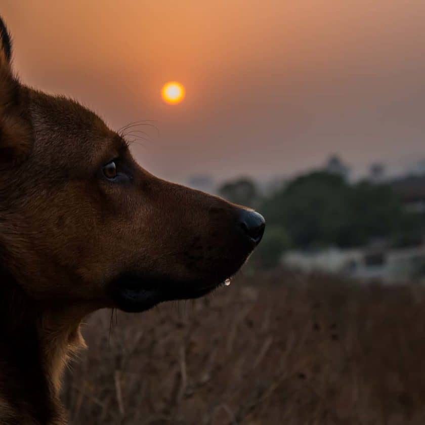 Dogs can grieve just like the rest of us. If a dog's owner or a close companion pet passes away, you may notice signs of depression in your dog.