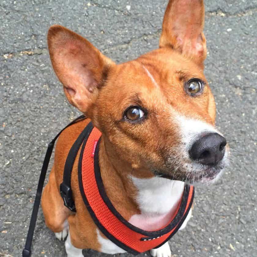 Basenji top 2 cleanest dog