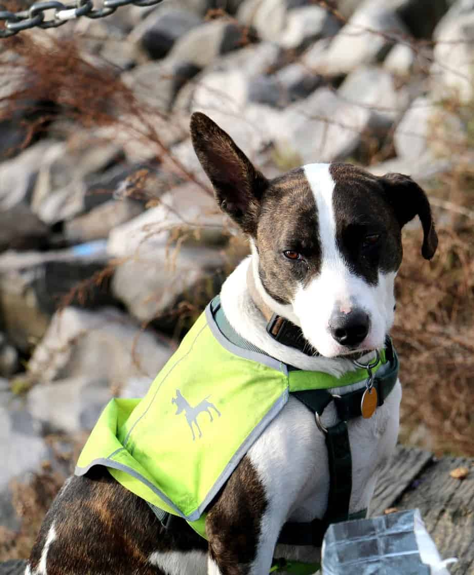 Training your own dog to become a psychiatric service dog