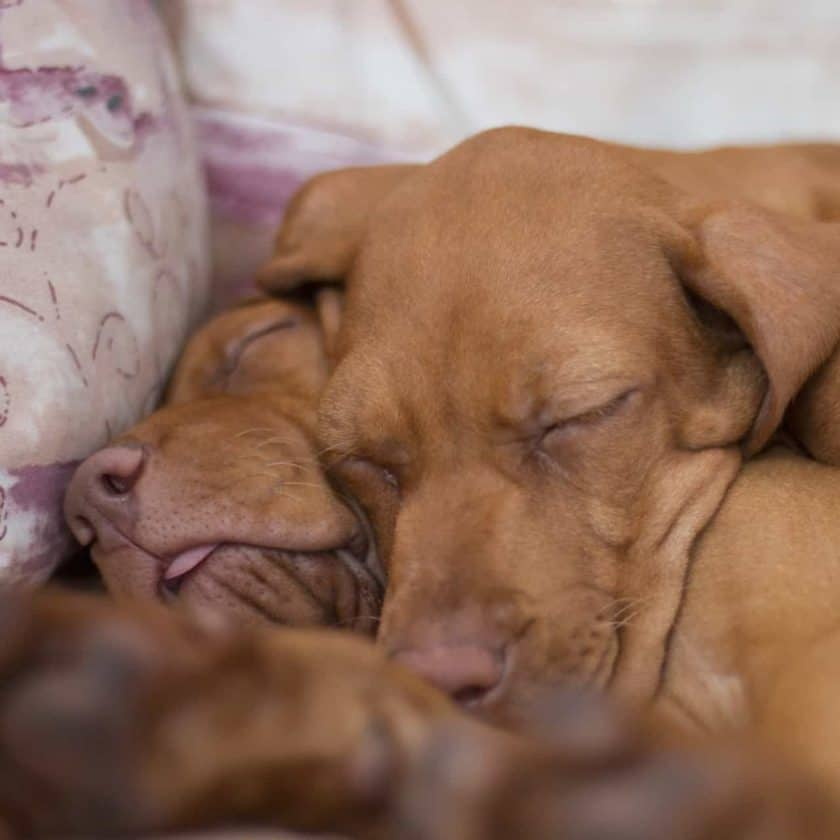 Dogs sleep in bed