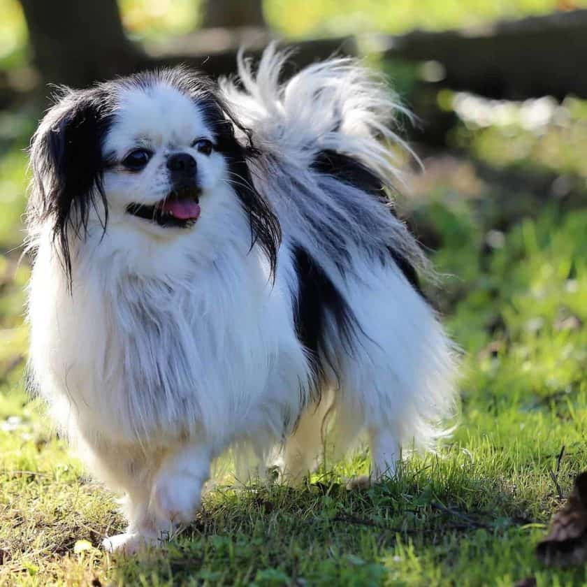 Japanese Chin top 4 cleanest dog