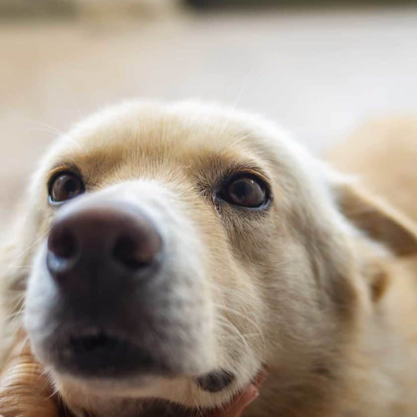 Wiggling of dog eyebrows is a sign of love to you