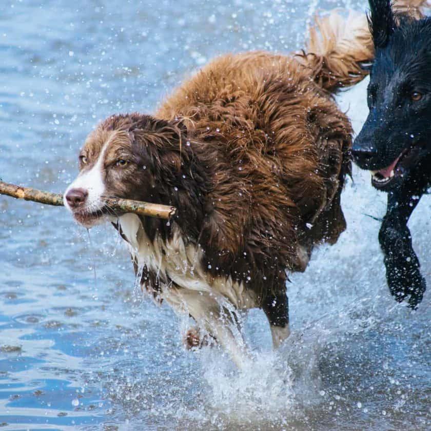 Flirt Stick Exercise for dogs