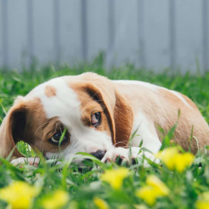 11 Ways To Tell If Your Dog Is Sad Or Upset: Hiding away