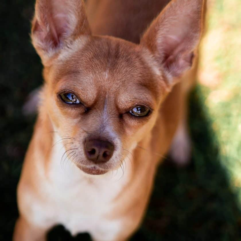 Chihuahua: Top 6 cleanest dog breed