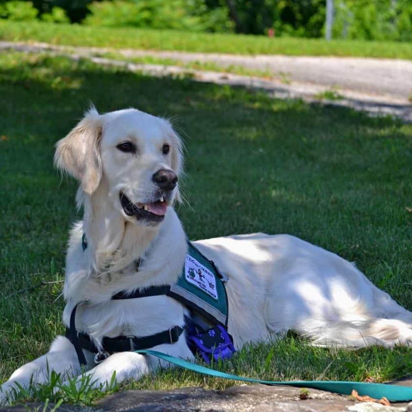 Get a service dog for anxiety via a service dog program