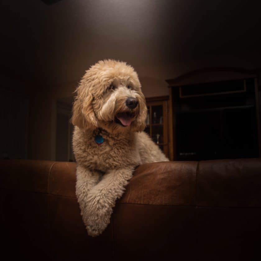 Poodle: Top 7 cleanest dog breed