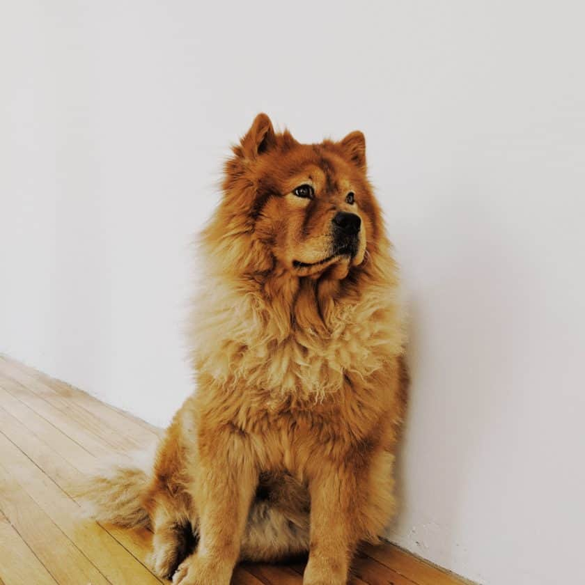 Chow Chow: Top 8 Cleanest Dog breed