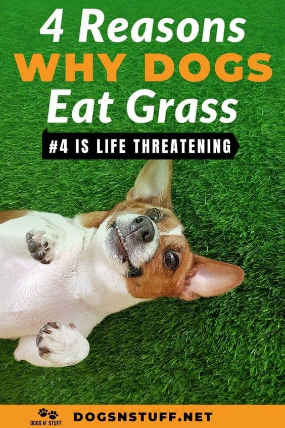 Reasons why dogs eat grass