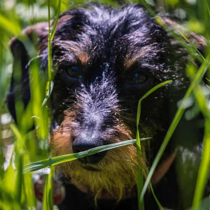 Do dogs eat grass to vomit?