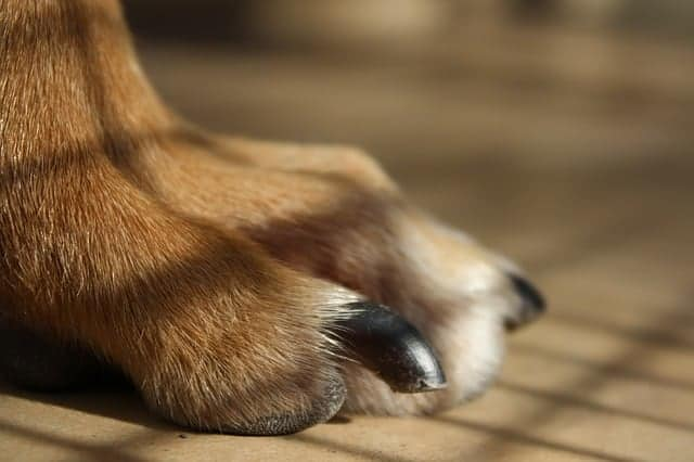 Why trimming overgrown dog nails is important