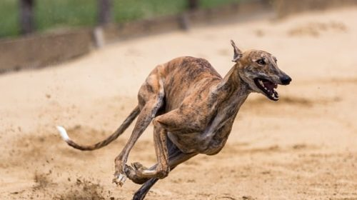 15 Dog Breeds That Can Jump High